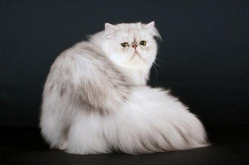 Gatto persiano.
