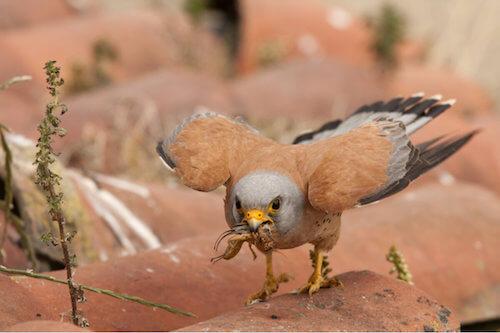 Falco naumanii che mangia una cavalletta.