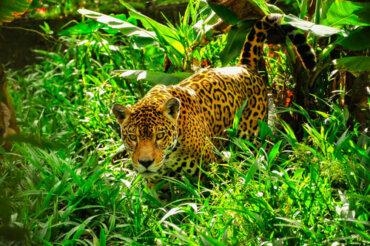 Quali sono le differenze tra il giaguaro e il leopardo?