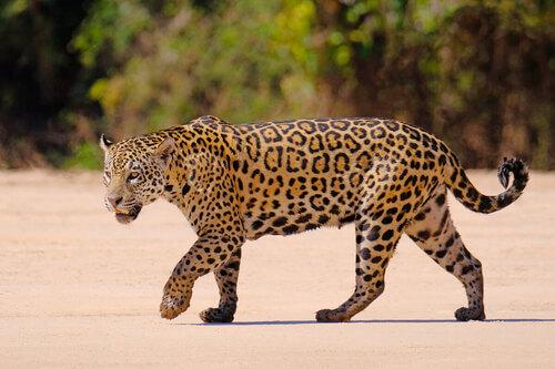 Giaguaro che cammina.