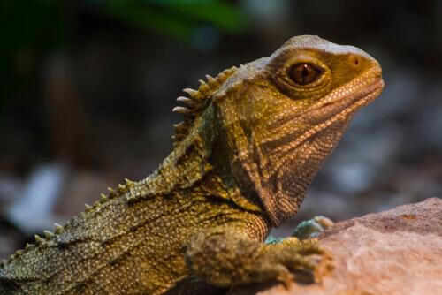 Iguana su una pietra.
