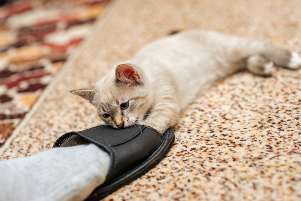 Perché i gatti mordono le caviglie degli umani?
