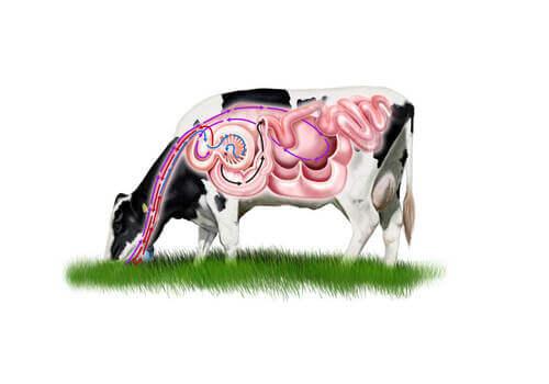 Illustrazione dello stomaco della mucca.