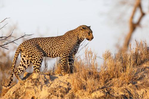 leopardo su una radura.