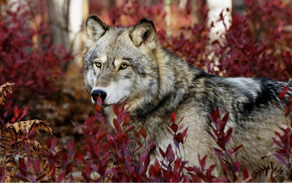 Tratti comportamentali comuni delle specie di lupo