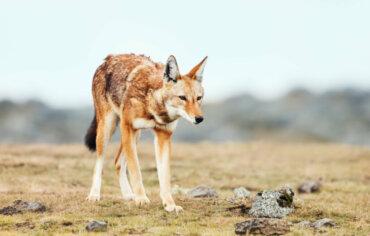 Lupi in pericolo di estinzione: i casi del lupo rosso e del lupo etiope