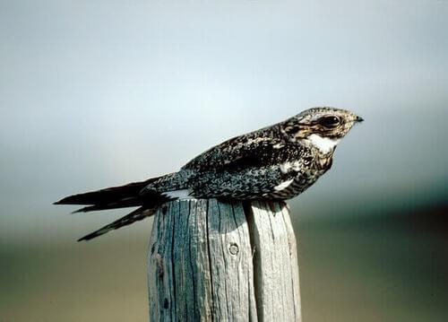 Nacunda nighthawk: habitat e comportamento