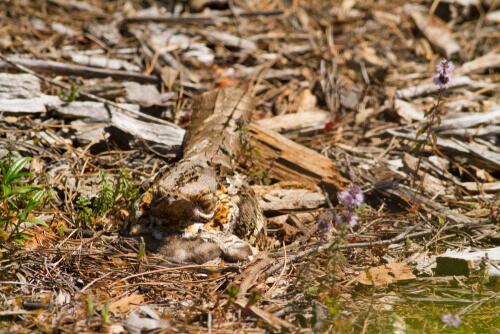 Nacunda nighthawk appollaiato a terra.