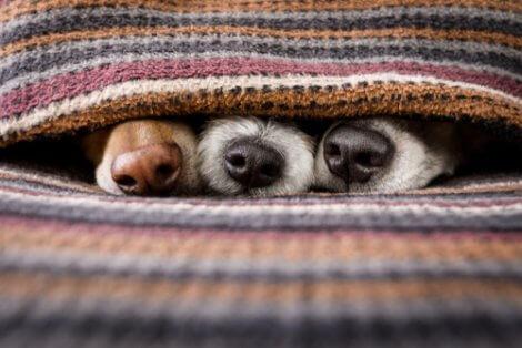Naso del cane: tre cani nascosti.