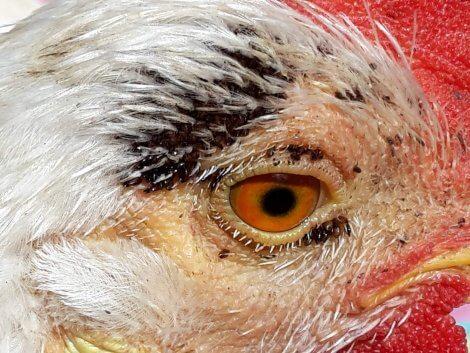 Ectoparassiti dei rapaci: pollo.