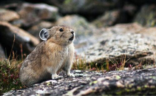 Metà topo, metà lepre: conosciamo il pica