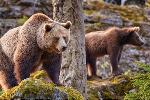 Effetti dei cambiamenti climatici sugli orsi della Cantabria