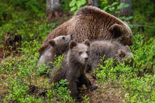 Cuccioli di orso con la madre che foraggiano nel bosco.