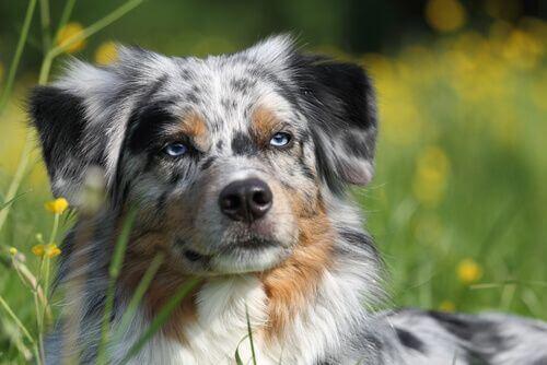 Pastore australiano tra le razze di cani più sane.