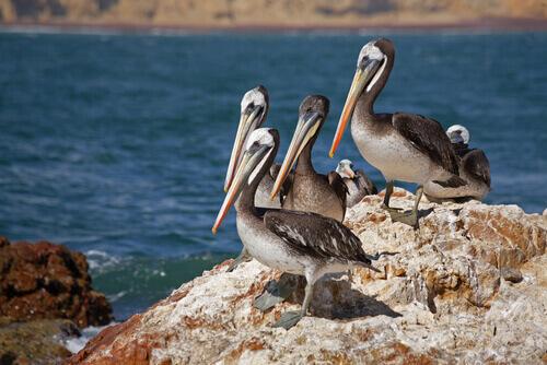 Pelecanus thagus, gruppo di uccelli su uno scoglio.