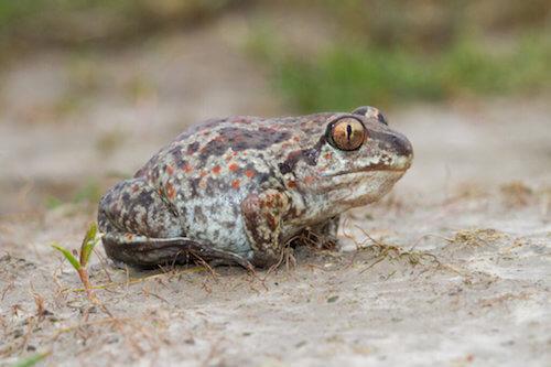 Scaphiopodidae: tipi, habitat e caratteristiche