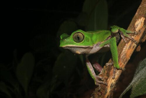 Rana Phyllomedusa: caratteristiche e habitat