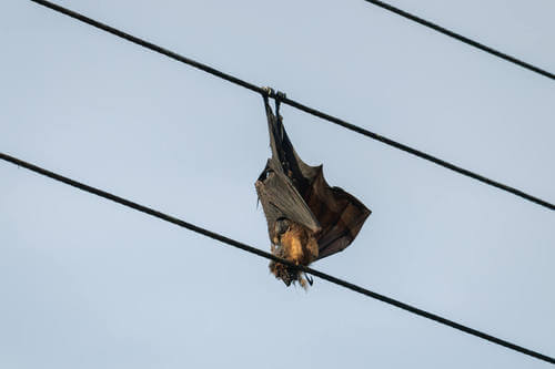 Pipistrello su un filo elettrico.