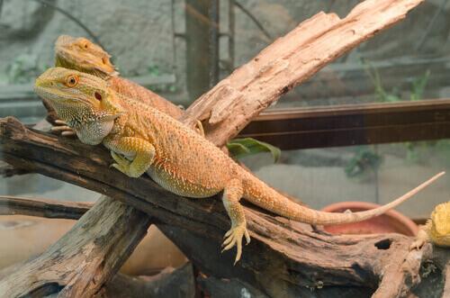 Iguana dentro un terrario.