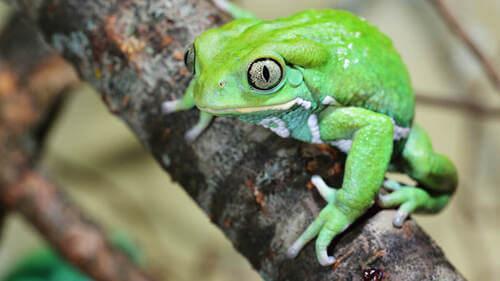 Rana verde su un ramo.