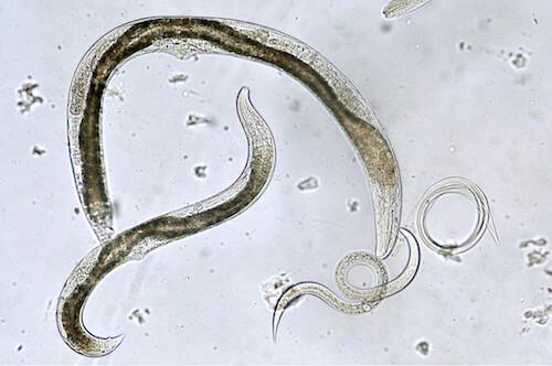 Nematodi al microscopio. Riproduzione dei nematodi al microscopio.