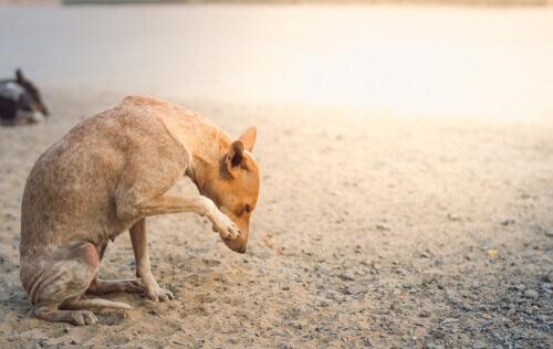 La rogna sarcoptica nei cani: i sintomi