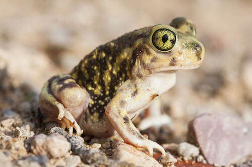 Scaphiopus couchii.