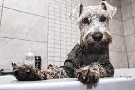 Sindrome dello Schnauzer: cane nella vasca da bagno.