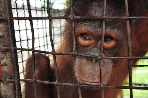 Scimmia in gabbia. Animali e depressione.
