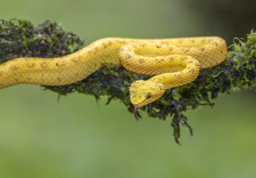 Origine rettili. Serpente giallo.