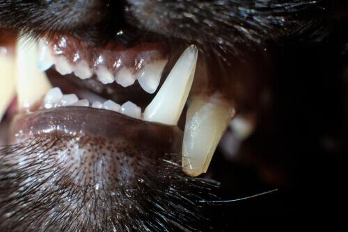 Denti di un gatto con tartaro.