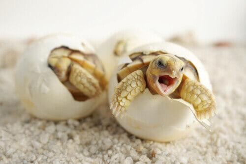 Tartarughe che escono dal guscio.