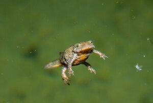 Tritoni: specie e caratteristiche di questi curiosi anfibi