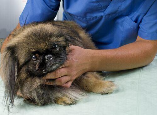 Tumore nei cani. Visita veterinaria.