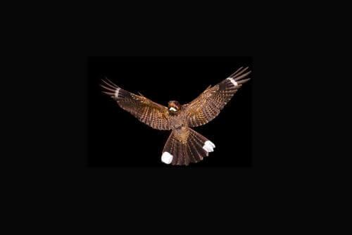 Uccello con le ali spiegate.