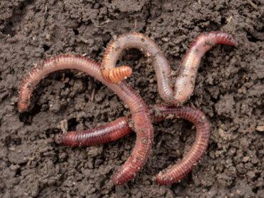 I vermi: come si riproducono questi animali?