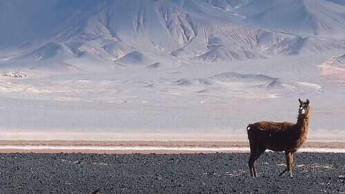 Vicugna vicugna in un territorio desertico.