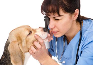 Il trattamento della distichiasi nei cani
