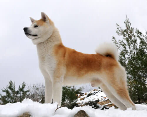 Akita giapponese sulla neve.