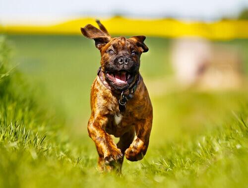 Boxer che corre.