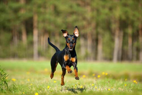 Pinscher nano che corre. Razze di cani energiche.
