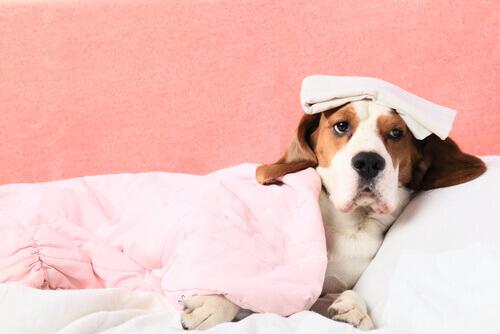 Emorragia interna nei cani, come accorgersene?