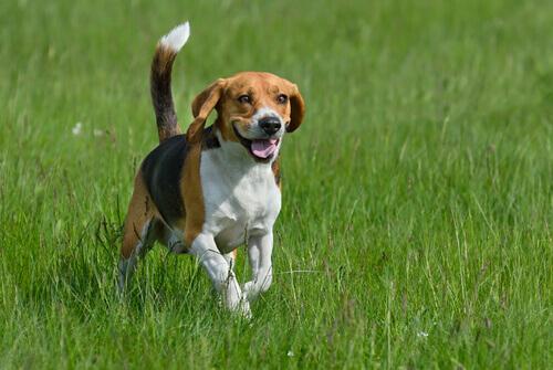 Quali sono le razze di cani più energiche?