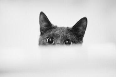 Pupille dilatate nei gatti: possibili cause