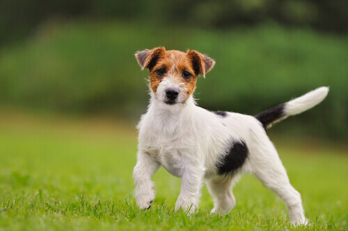 Jack russell.