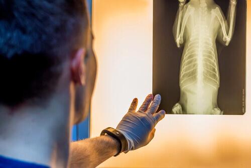 Radiografia del cane.