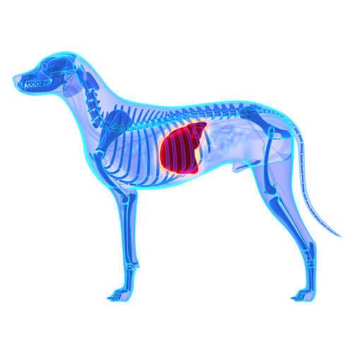 La dieta adeguata per un cane che soffre di malattie al fegato