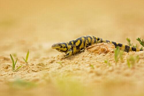 Salamandra tigre.