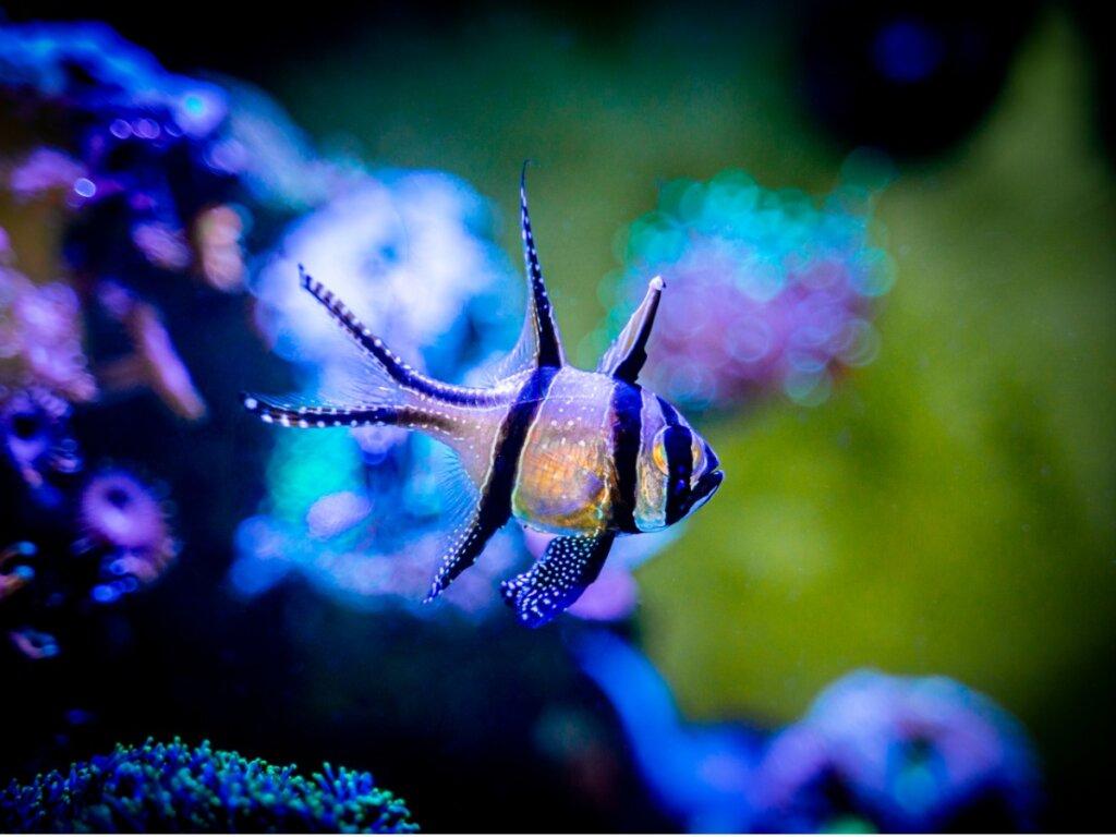 Pesce cardinale Banggai: caratteristiche e stato di conservazione
