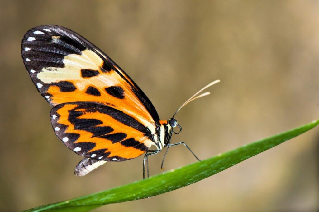 Le farfalle possono cambiare il colore delle loro ali?